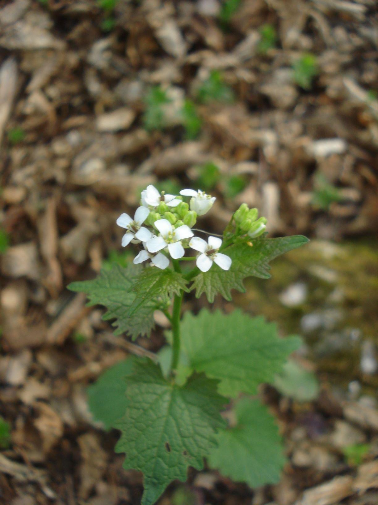 Česnáček-lékařský-Alliaria-petiolata
