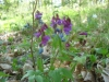 Hrachor-jarní-Lathyrus-vernus