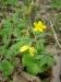 Sasanka-pryskyřníkovitá-Anemone-rannunculoides